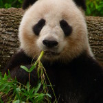 Giant_Panda_eating_Bamboo